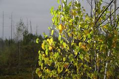 El abedul deja el primer con otoño del alto contraste Fotos de archivo