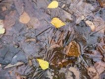 El abedul del bosque del otoño se va bajo opinión superior del hielo Imagen de archivo