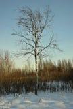El abedul del invierno Imagen de archivo libre de regalías