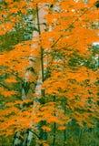 El abedul del otoño con la naranja se va en el bosque Foto de archivo