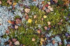 El abedul del otoño deja la colocación en musgo en bosque Fotografía de archivo libre de regalías