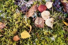 El abedul del otoño deja la colocación en musgo en bosque Fotografía de archivo