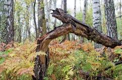 El abedul derribado, helecho en bosque mezclado Foto de archivo