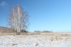 El abedul desnudo que se coloca en un claro de la nieve en el invierno Imágenes de archivo libres de regalías