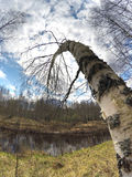 El abedul doblado sobre el lago Imagenes de archivo