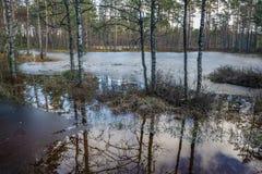 El abedul en pantano con la reflexión del hielo y del cielo el día se enciende Imagenes de archivo