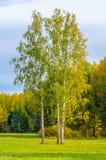 El abedul en un campo herboso en el fondo del bosque en los rayos del sol del otoño Fotografía de archivo