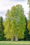 El abedul en un campo herboso en el fondo del bosque en los rayos del sol del otoño Fotos de archivo libres de regalías