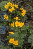 El abedul florece el primer Foto de archivo libre de regalías