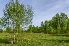 El abedul florece la primavera de la arboleda del prado Fotos de archivo
