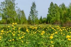 El abedul florece la primavera de la arboleda del prado Fotografía de archivo libre de regalías