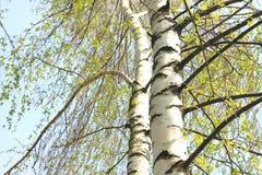 El abedul hermoso con verde se va en primavera contra el cielo Fotografía de archivo