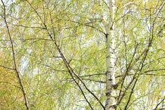 El abedul hermoso con verde se va en primavera contra el cielo Foto de archivo