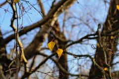 El abedul hojea el otoño pasado en las ramas de árbol casi desnudas - betula Imagen de archivo libre de regalías