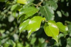 El abedul iluminado por el sol del primer ramifica con las hojas verdes jovenes Selectiv Foto de archivo
