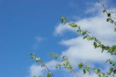 El abedul joven ramifica con las hojas contra el cielo azul y el blanco Imagen de archivo
