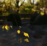 El abedul joven se va en el sol en un fondo oscuro Fotografía de archivo libre de regalías