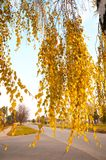 El abedul ramifica con las hojas amarillas en día del otoño Imagen de archivo