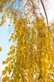 El abedul ramifica con las hojas amarillas en día del otoño Foto de archivo