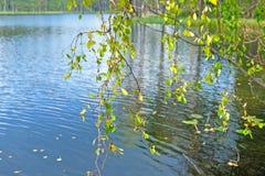 El abedul ramifica con las hojas amarillas en el fondo del agua Imagen de archivo