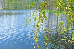 El abedul ramifica con las hojas amarillas en el fondo del agua Fotografía de archivo libre de regalías