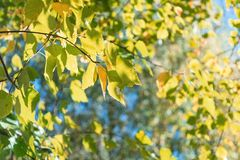 El abedul ramifica con las hojas amarillas y de la naranja en el follaje del fondo Imagen de archivo