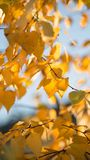 El abedul ramifica con las hojas amarillas y de la naranja en el follaje del fondo En el fondo son los árboles con las hojas de o Fotografía de archivo libre de regalías