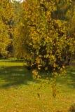 El abedul ramifica con las hojas de otoño en el parque Fotos de archivo libres de regalías
