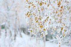 El abedul ramifica con las hojas hermosas del amarillo del otoño debajo de nieve Foto de archivo
