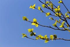 El abedul ramifica con las hojas jovenes contra el cielo Imagen de archivo