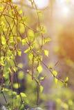 El abedul ramifica con las hojas verdes en parque de la primavera Fotos de archivo libres de regalías