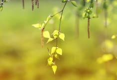 El abedul ramifica con las hojas verdes frescas en día de primavera Imagen de archivo libre de regalías