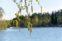 El abedul ramifica con las hojas y los amentos verdes jovenes Fotos de archivo libres de regalías