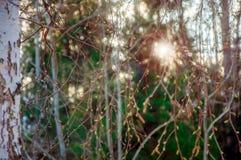 El abedul ramifica con los riñones en haces de la luz del sol en la puesta del sol en la primavera temprana Fondo enmascarado Imagen de archivo