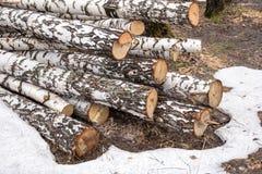 El abedul recientemente aserrado abre una sesión el bosque Foto de archivo libre de regalías