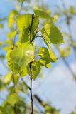 El abedul se va en el fondo del cielo azul, las hojas del árbol Fotografía de archivo libre de regalías