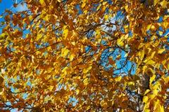 El abedul se va en otoño en fondo del cielo azul Foto de archivo libre de regalías