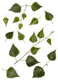 El abedul se va, el abedul, sistema de las hojas del abedul, hojas en un fondo blanco Fotos de archivo