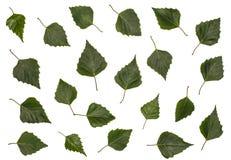 El abedul se va, el abedul, sistema de las hojas del abedul, hojas en un fondo blanco Imágenes de archivo libres de regalías
