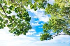 El abedul verde deja el brillo en el sol en fondo del cielo azul Imagen de archivo libre de regalías