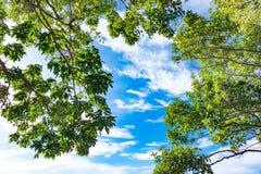 El abedul verde deja el brillo en el sol en fondo del cielo azul Fotos de archivo
