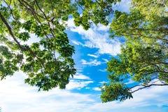 El abedul verde deja el brillo en el sol en fondo del cielo azul Foto de archivo