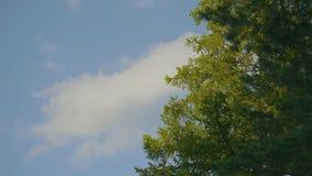 El abedul verde deja el brillo en el sol en fondo del cielo azul Tops hermosos de los árboles del otoño y del cielo azul Foto de archivo libre de regalías