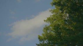El abedul verde deja el brillo en el sol en fondo del cielo azul Tops hermosos de los árboles del otoño y del cielo azul almacen de video
