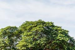 El abedul verde deja el brillo en el sol en el cielo azul Imagenes de archivo