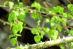 El abedul verde joven se va en ramas en primavera temprana Fotos de archivo