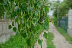 El abedul verde ramifica con las pequeñas hojas en la calle cerca del camino Imagenes de archivo