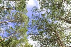 El abedul verde sale de brillo en fondo del cielo azul Foto de archivo libre de regalías