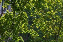El abedul verde sale del fondo natural Fotos de archivo libres de regalías