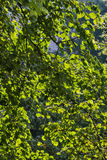 El abedul verde sale del fondo natural Imagen de archivo